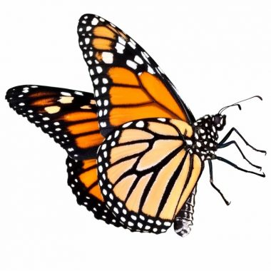 23-231834_butterfly-png-five-siting-position-real-butterfly-transparentb